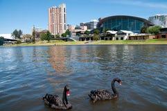 Лебеди Adelaide стоковое изображение rf