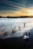 лебеди ii стоковое фото