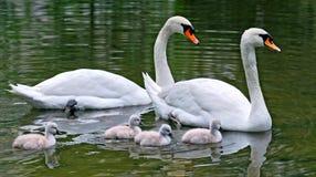 лебеди nestlings Стоковая Фотография RF