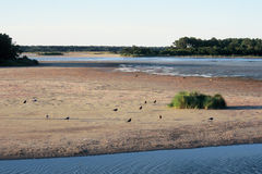 лебеди virginia бухточки chincoteaque Стоковая Фотография RF