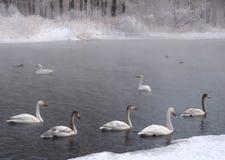 Лебеди Whooper в зиме на озере 1 стоковое фото rf