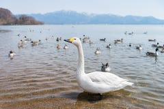 Лебеди Whooper Cygnus и группа в составе teal duck заплывание на голубой лагуне стоковые изображения