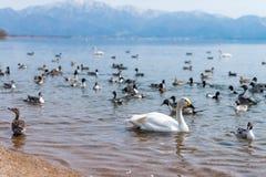 Лебеди Whooper Cygnus и группа в составе teal duck заплывание на голубой лагуне стоковые изображения rf