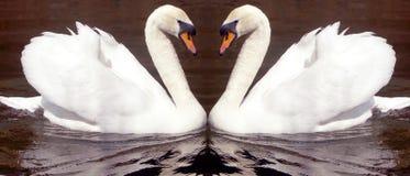 лебедь влюбленности Стоковые Фотографии RF