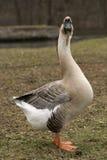 лебедь вытаращиться гусыни Стоковая Фотография RF