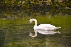 Лебедь в озере Стоковое Фото