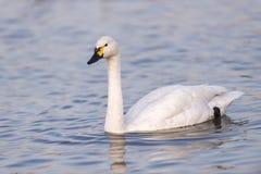 Лебедь в озере Стоковая Фотография RF