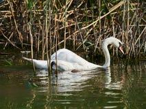 Лебедь в перепаде Дуная, Tulcea, Румыния стоковое фото rf