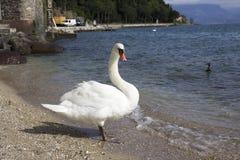 Лебедь в природе Стоковое Изображение RF