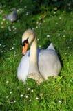 Лебедь в траве Стоковая Фотография