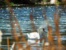 Лебедь в Wroclaw Стоковые Фотографии RF