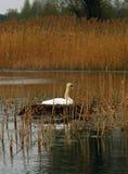 лебедь гнездя Стоковое Изображение RF