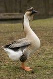 лебедь гусыни стоящий высокорослый Стоковое Фото