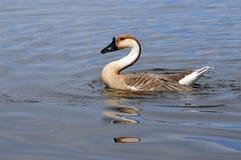 лебедь гусыни Стоковое фото RF