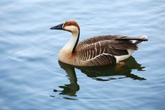 лебедь гусыни Стоковое Изображение