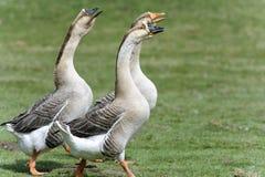 лебедь гусыни cygnoides anser Стоковая Фотография