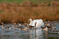 лебедь гусынь Стоковое Фото