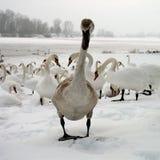 лебедь девушки мальчиков Стоковое Фото