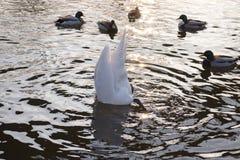 Лебедь ест от дна реки стоковая фотография