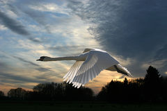 лебедь захода солнца зимний Стоковые Фотографии RF