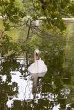 Лебедь, зеленое озеро, естественное, лебедь в зеленом озере, стоковые фотографии rf