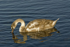 Лебедь ища еда Стоковые Фото