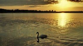 Лебедь и заход солнца над морем стоковое изображение