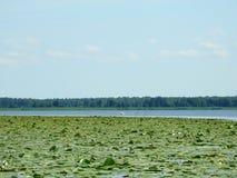 Лебедь и красивые заводы в озере в лете, Литве Стоковые Фото