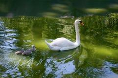 Лебедь и младенцы матери стоковая фотография rf