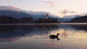 Лебедь и озеро кровоточенные с церковью St Marys предположения на небольшом острове; Кровоточенный, Словения, Европа сток-видео