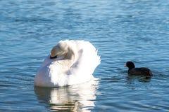 Лебедь и утка на озере в полдень в зиме стоковые изображения rf