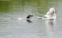 Лебедь и утка, ссоры района стоковая фотография rf