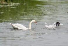 Лебедь и утка, ссоры района стоковое изображение rf