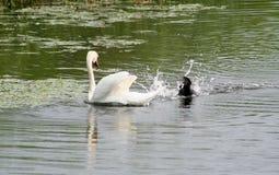 Лебедь и утка, ссоры района стоковое изображение
