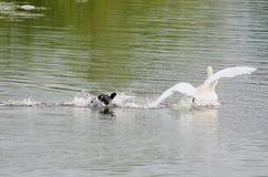 Лебедь и утка, ссоры района стоковое фото rf