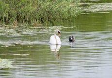 Лебедь и утка, ссоры района стоковые изображения rf