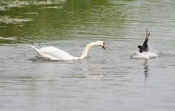 Лебедь и утка, ссоры района стоковые изображения