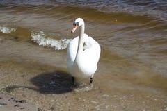 Лебедь красоты белый идя в голубое озеро стоковая фотография