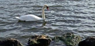 Лебедь красоты сиротливый Стоковая Фотография RF