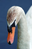 лебедь крупного плана безгласный Стоковое фото RF