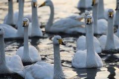 Лебедь лебедя в озере лебед Стоковые Изображения