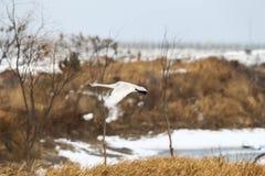 Лебедь летания, через все виды заводов Стоковое Изображение