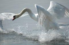 лебедь летания Стоковые Фото