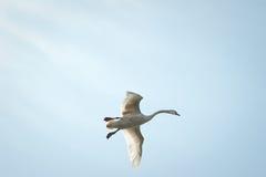 лебедь летания Стоковое Изображение