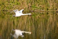 лебедь летания Стоковые Изображения