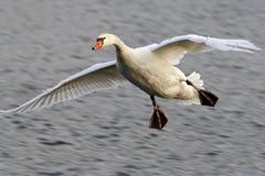 лебедь летания Стоковая Фотография RF