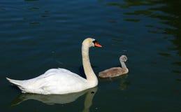 Лебедь матери безгласный с молодым лебедем Стоковая Фотография