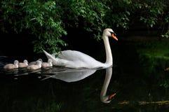 лебедь младенца безгласный Стоковые Фото