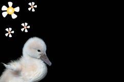 лебедь младенца Стоковое фото RF