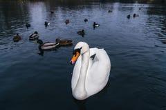 Лебедь на берегах озера На заднем плане утки заплыва стоковые изображения